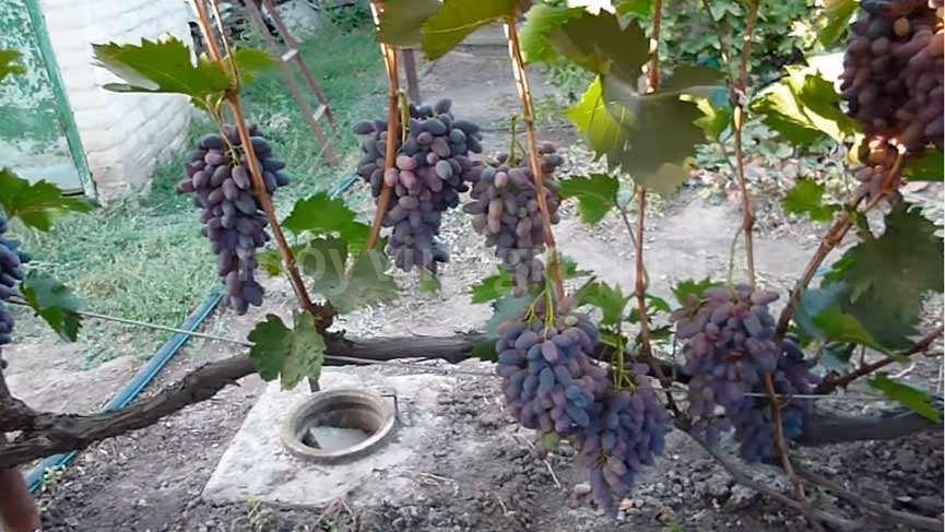 Рост винограда сорта Памяти Негруля фото