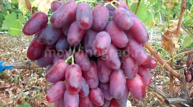 Виноград Ризамат фото