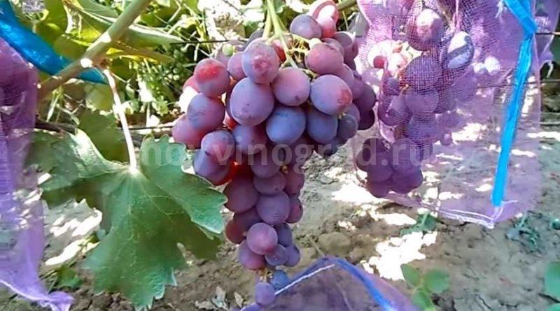 Виноград Рошфор фото
