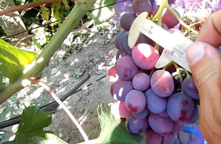 Ширина винограда сорта Рошфор фото