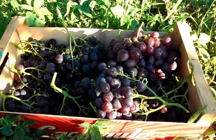 Срезанный виноград Рошфор фото