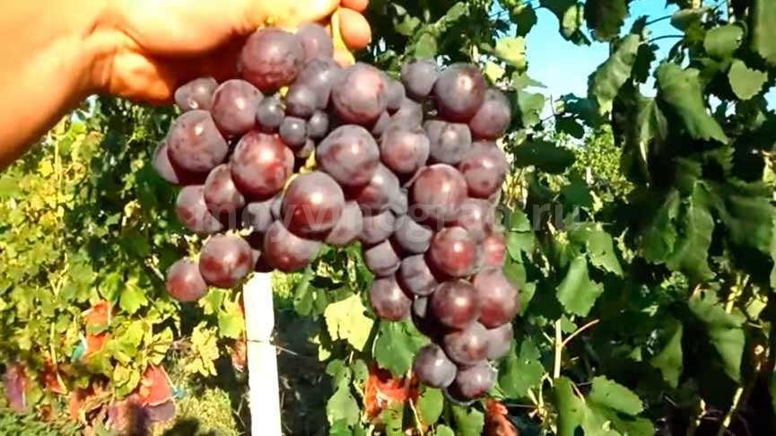Сорт винограда Рошфор фото