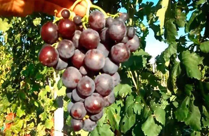 Красивая гроздь винограда Рошфор фото