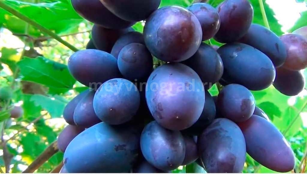 Виноград Викинг фото
