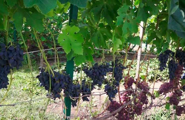 Грозди винограда Викинг фото