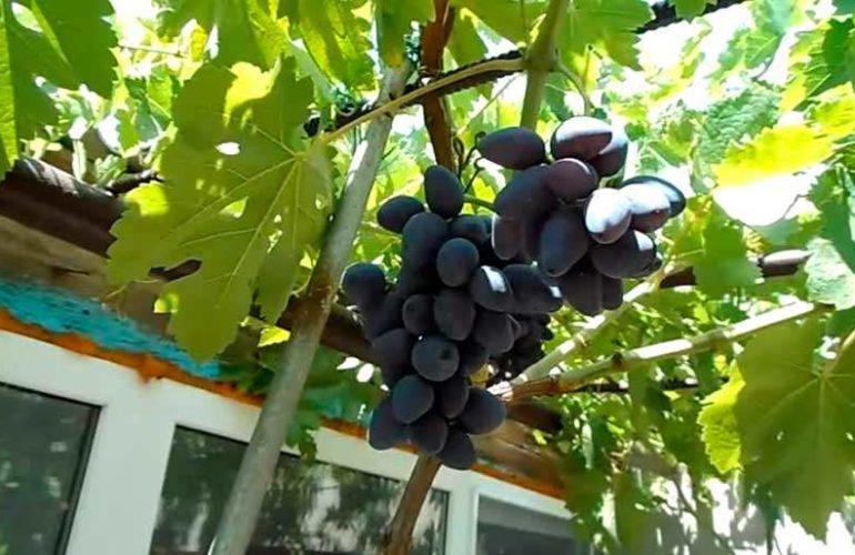Викинг сорт винограда фото