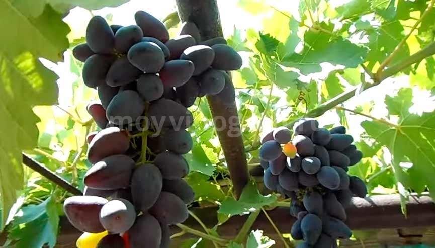 Ягоды винограда Викинг фото