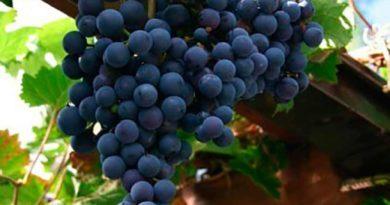 Виноград сорта Регент фото