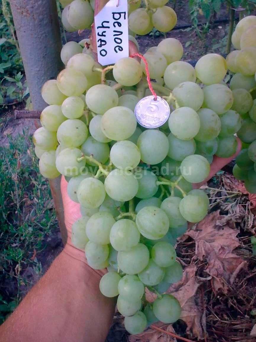 Белое Чудо сорт винограда фото