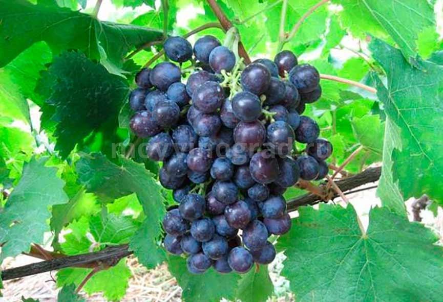 Ягоды сорта винограда Муромец фото