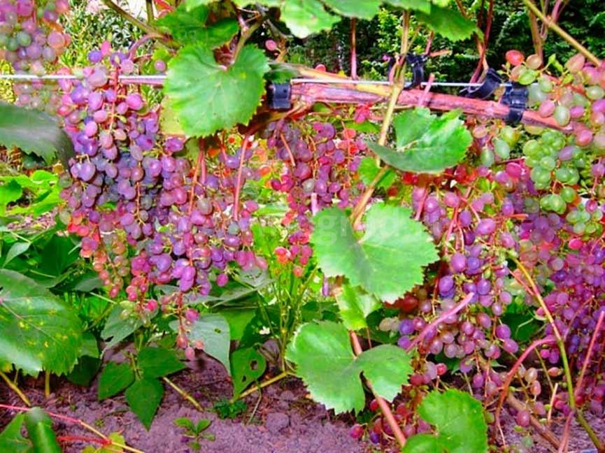Виноград сорта Эйнсет сидлис