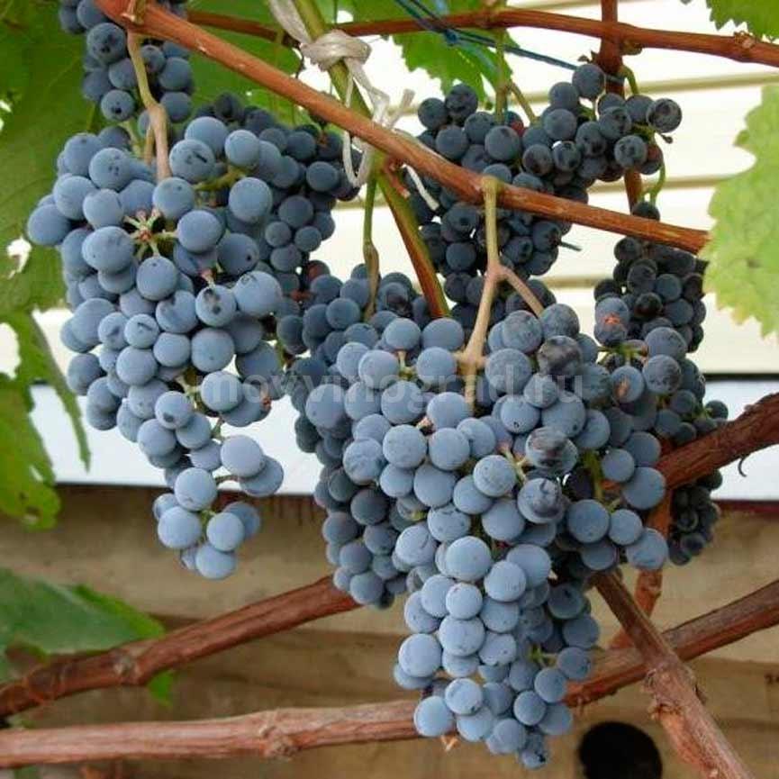 Сорт винограда Муромец фото