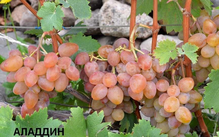 Сорт винограда Алладин фото