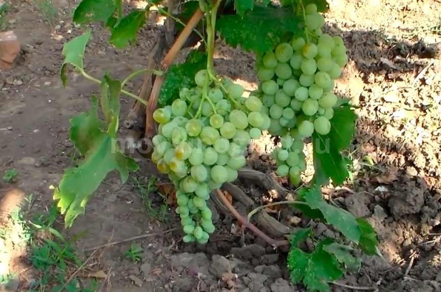 Антоний-великий-виноград-фото