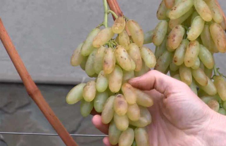 Гроздочка винограда Дамский Пальчик фото