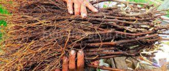 Весенняя посадка черенков винограда фото