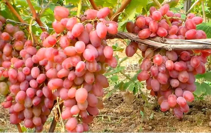 Гелиос-сорт-винограда-ягоды-фото
