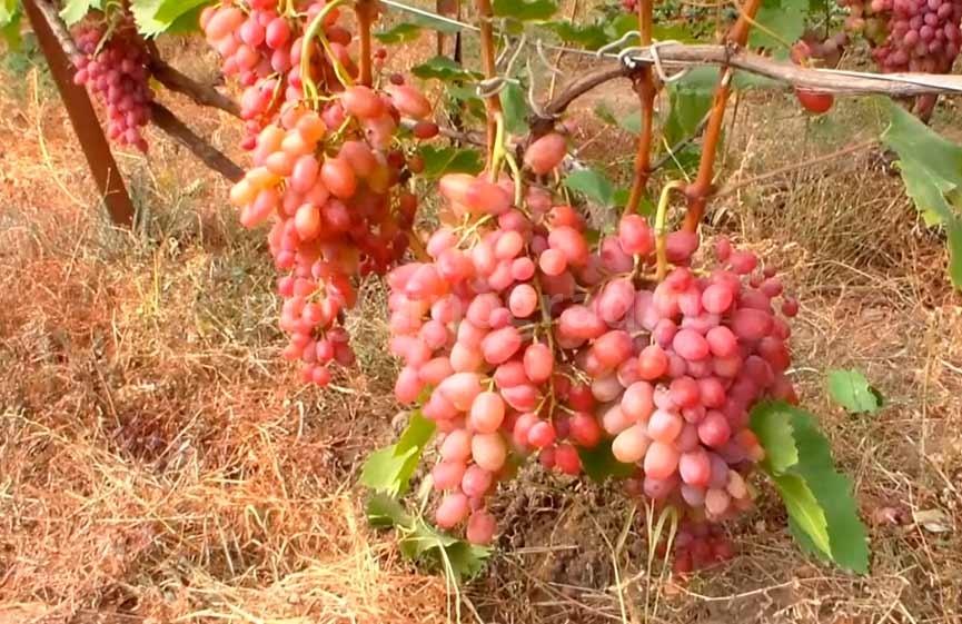 Гелиос-сорт-винограда-фото