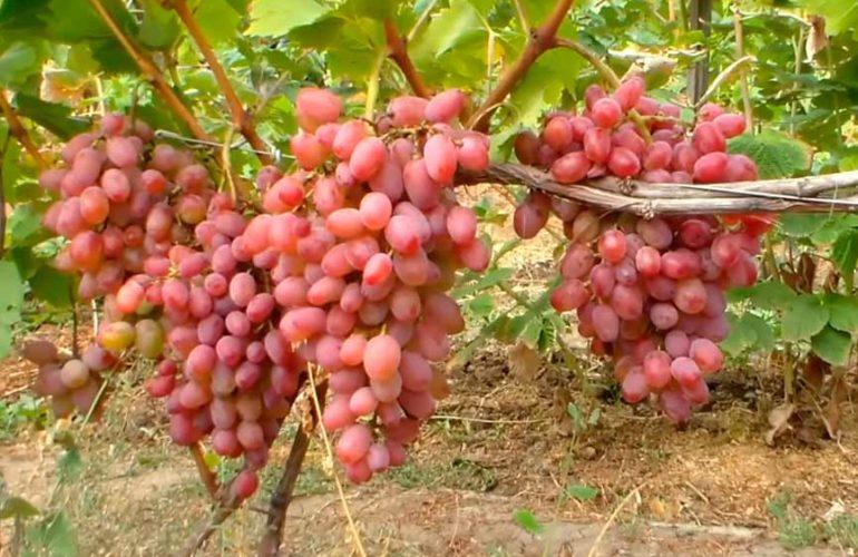 Гибридный-виноград-Гелиос-фото