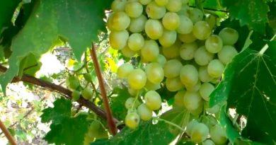 Гроздь-винограда-Антоний-великий-фото
