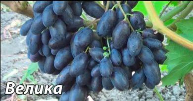 Гроздь-винограда-Велика-фото