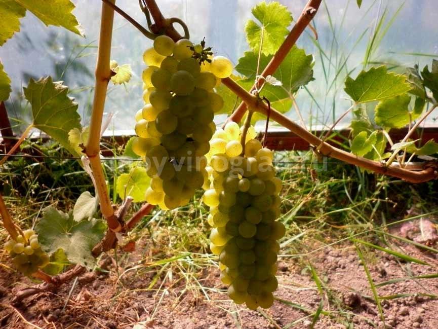 Грозди-винограда-Бьянка-фото