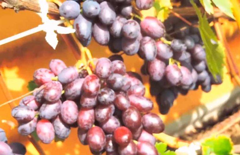 Грозди-винограда-Краса-Никополя-фото