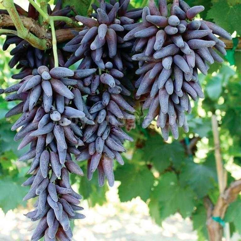 Грозди-винограда-Ведьмины-пальцы-фото