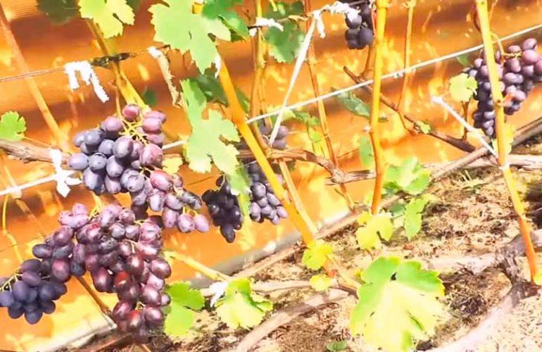 Гроздочки-винограда-Краса-Никополя-фото