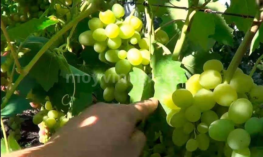 Гроздочки-винограда-супер-экстра-фото