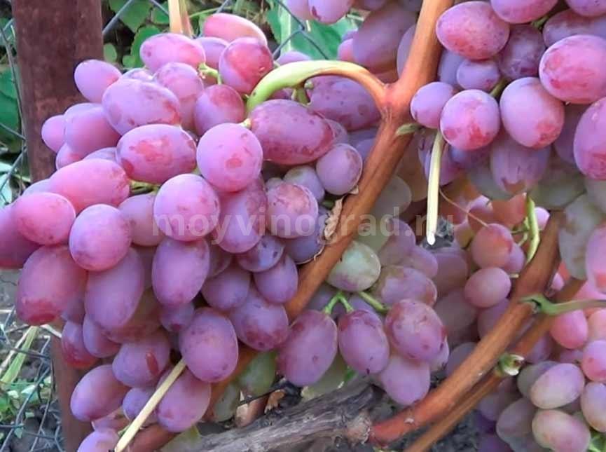 Как-выглядит-сорт-винограда-Гелиос-фото
