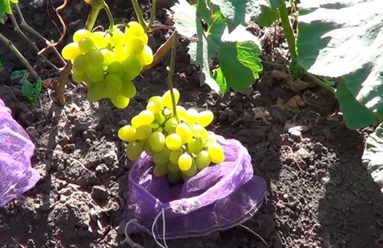 Как-выглядит-сорт-винограда-супер-экстра-фото