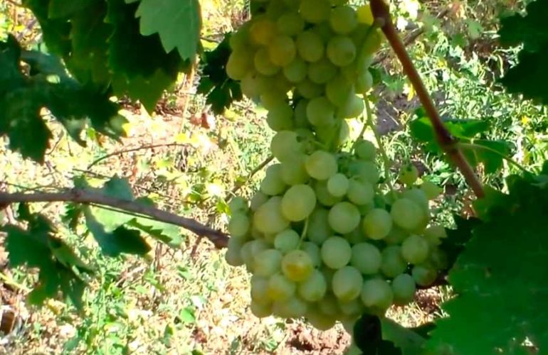 Как-выглядит-виноград-Антоний-Великий-фото