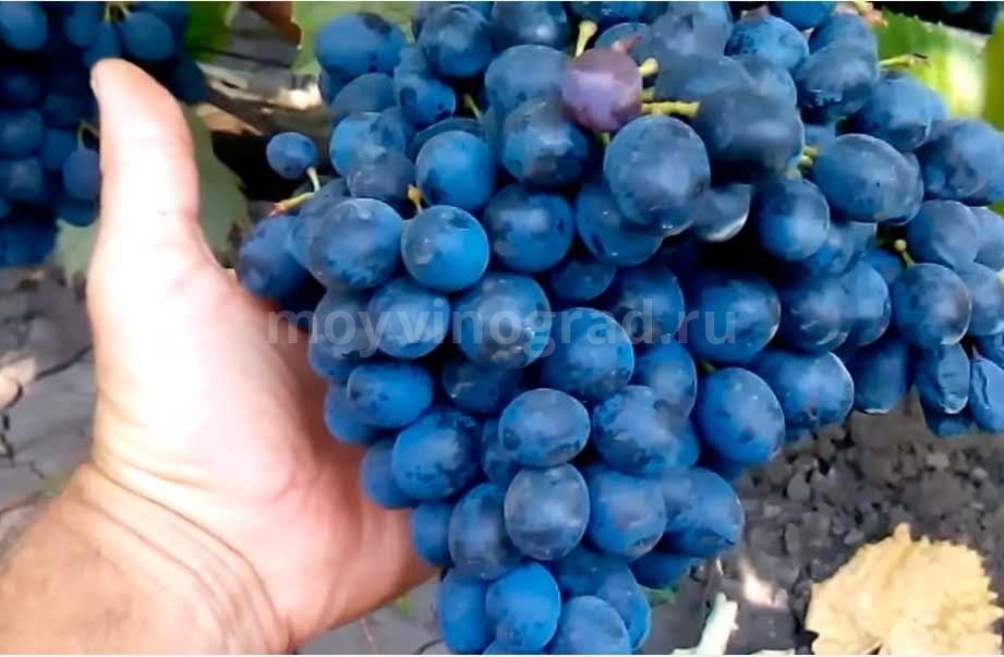 Как-выглядит-виноград-Молдова-фото