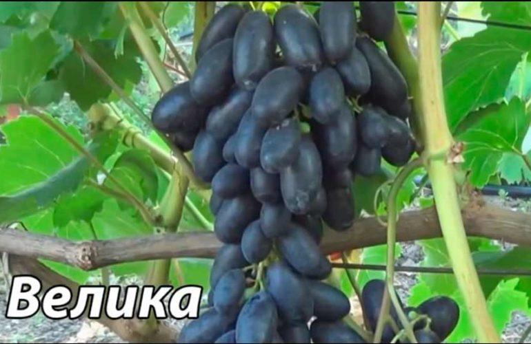 Как-выглядит-виноград-Велика-фото