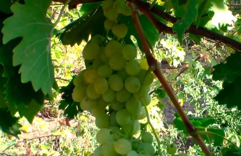 Кисть-винограда-Антоний-Великий-фото