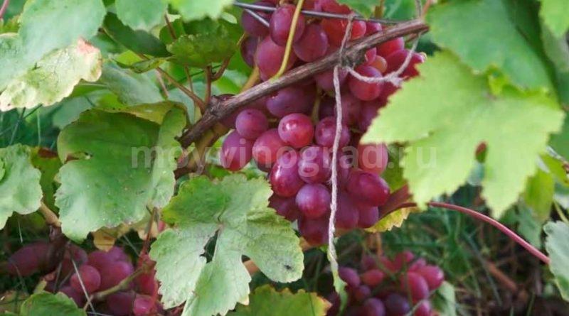 Кисть-винограда-Памяти-Хирурга-фото