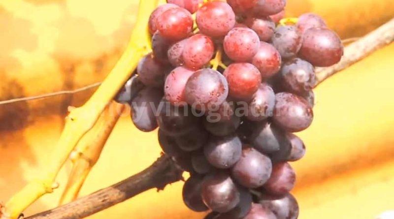 Краса-Никополя-созревшие-ягоды-фото