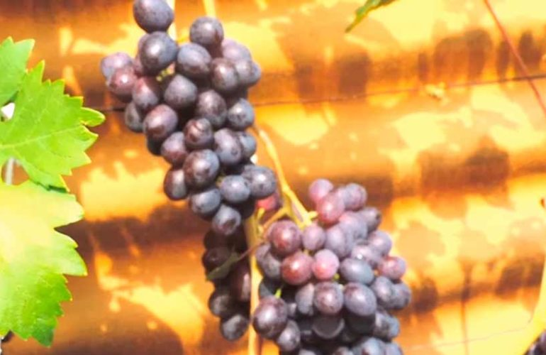 Краса-никополя-ягоды-фото