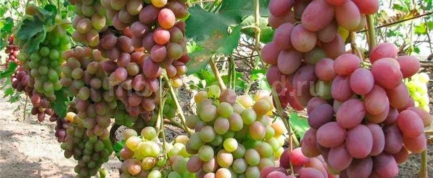 Кристина сорт винограда-фото