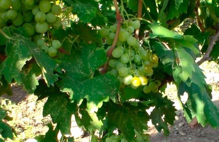 Куст-винограда-Анатолий-Великий-фото