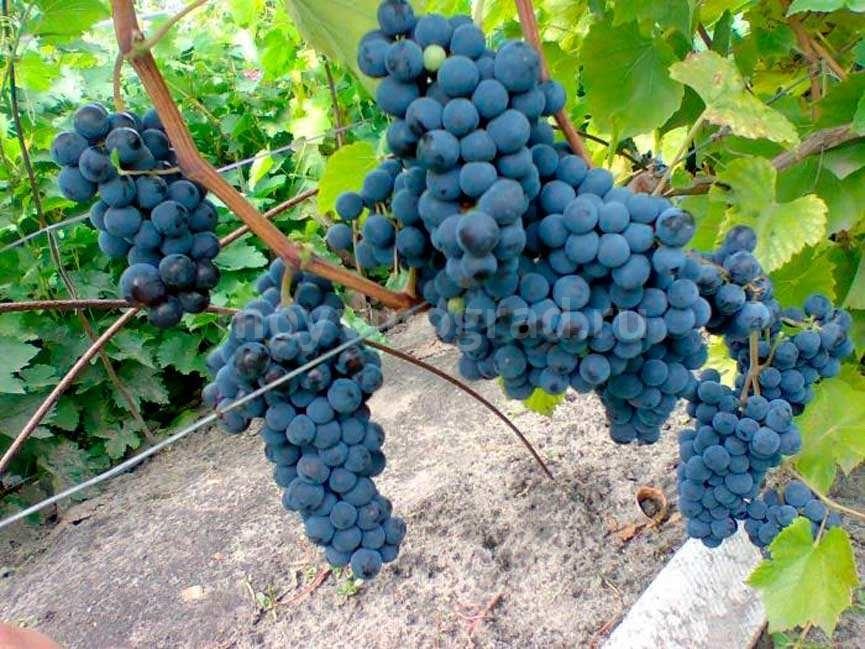 Левокумский-виноград-сорт-винограда-фото