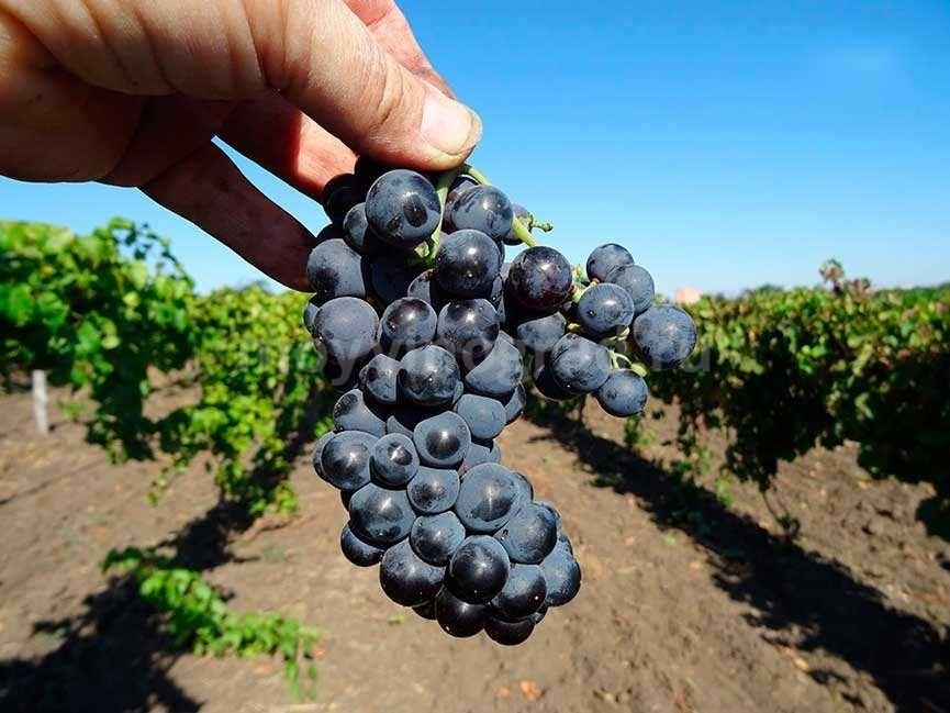 Левокумский-виноград-фото