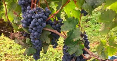 Мерло-сорт-винограда-фото