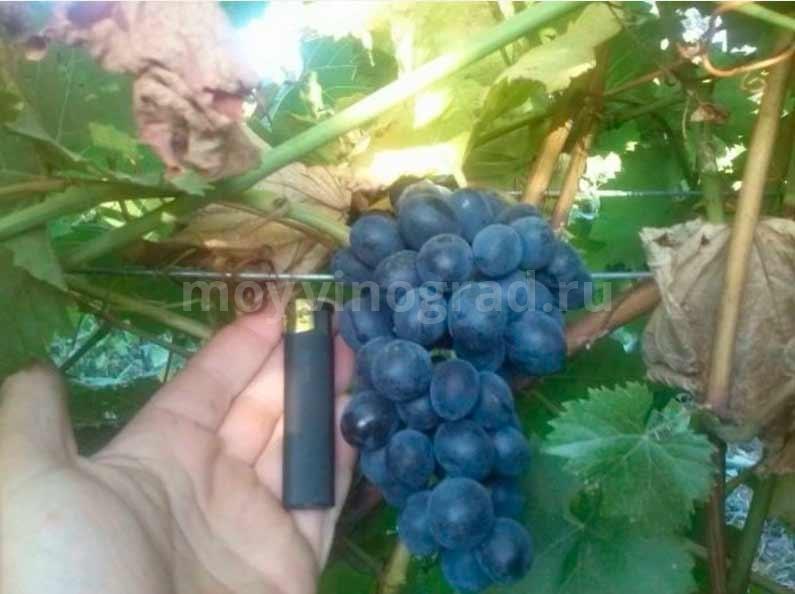 Молдова-Гроздь-винограда-фото