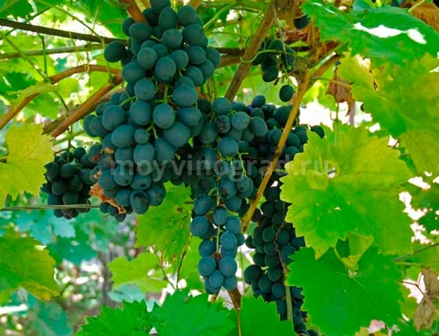 Молдова-сорт-винограда-фото