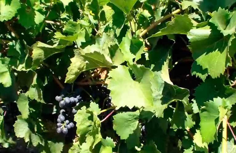 Молдова-виноград-гибридный-фото