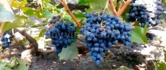 Молдова-ягоды-фото