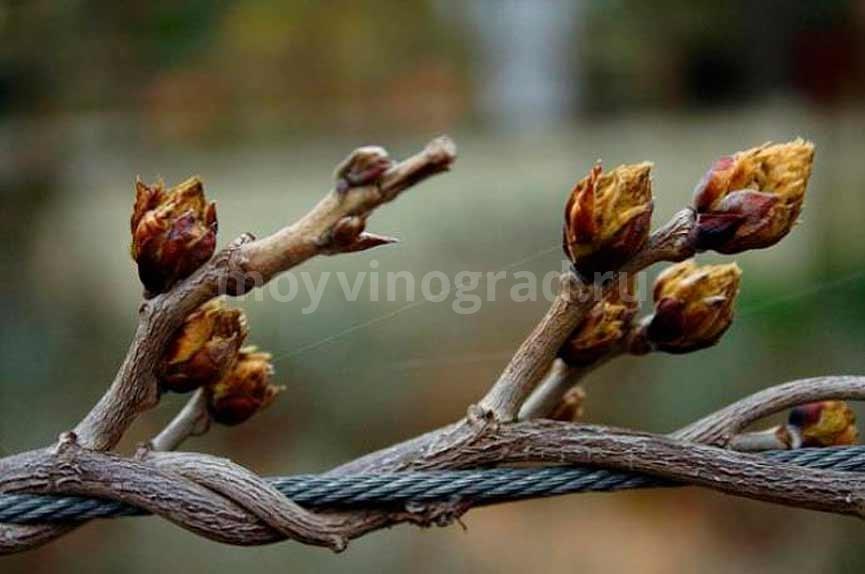 Почки-винограда-фото