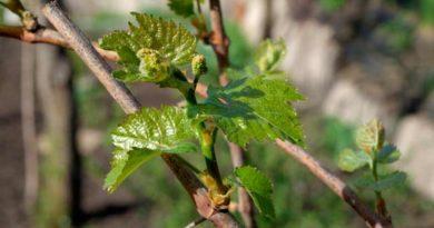 Раскрывшейся-виноград-фото